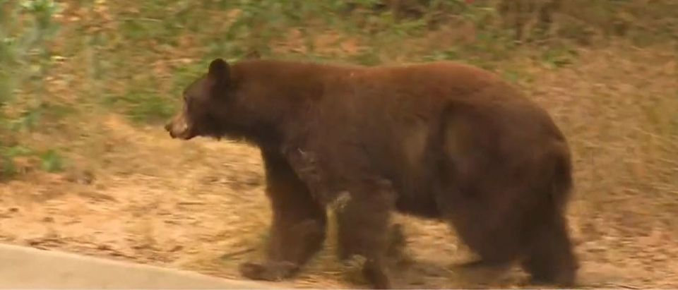 Brown bear runs through Fox News live shot (Fox News screengrab)