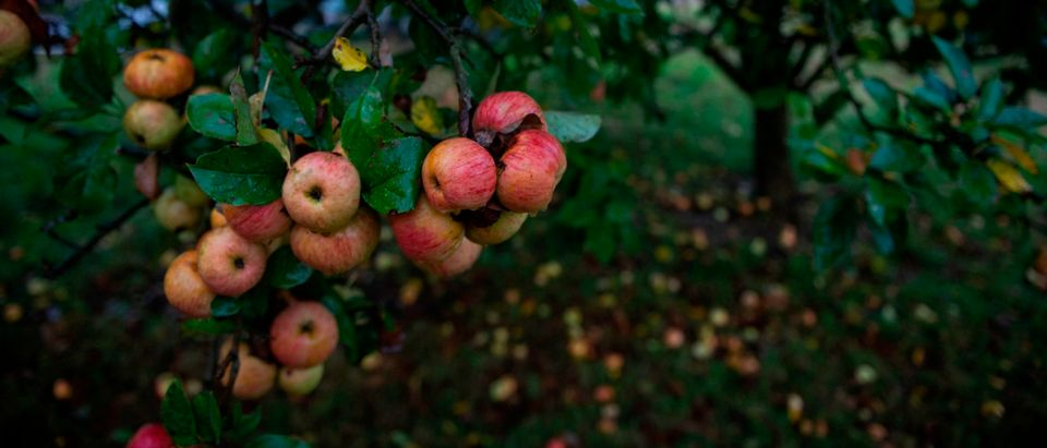 "Cider apples hang from a tree branch ready for harvest close to the JR's ""llagar"" (ciderhouse) in Cabuenes, Asturias region, on October 18, 2018. (Photo by Miguel Riopa/AFP via Getty Images)"