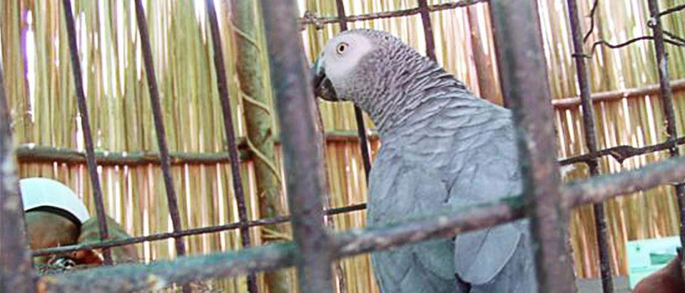 An African Grey parrot sits in a cage in