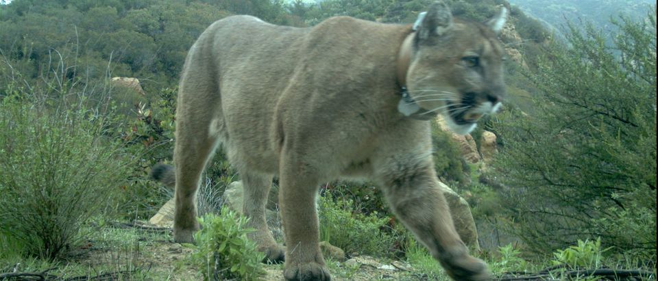 National Park Service photo of the three-year-old male mountain lion known as P-47