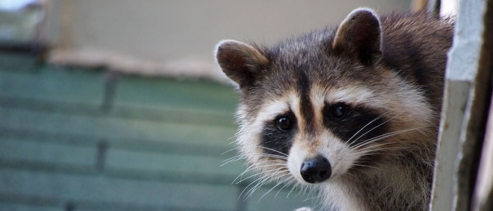 A raccoon reportedly attacked members of the press on the White House lawn. (Shutterstock, Lorri Carter)