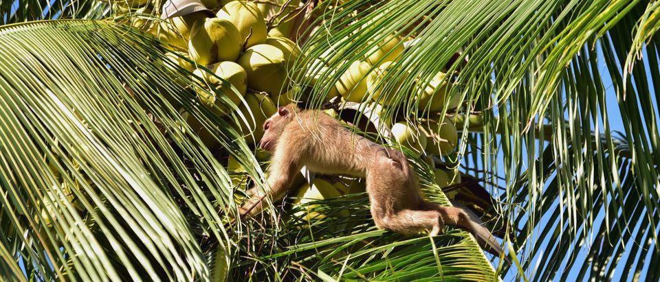 THAILAND-ANIMAL-COCONUTS