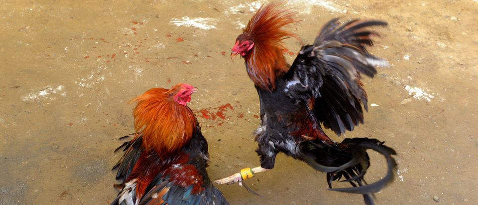 PHILIPPINES-STREETS-COCKFIGHTING
