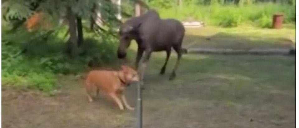 Moose_Chases_Dog