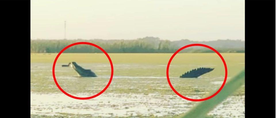 Florida Alligator (Credit: Screenshot/Twitter Video https://www.facebook.com/cass.couey/videos/10224106188785269/)