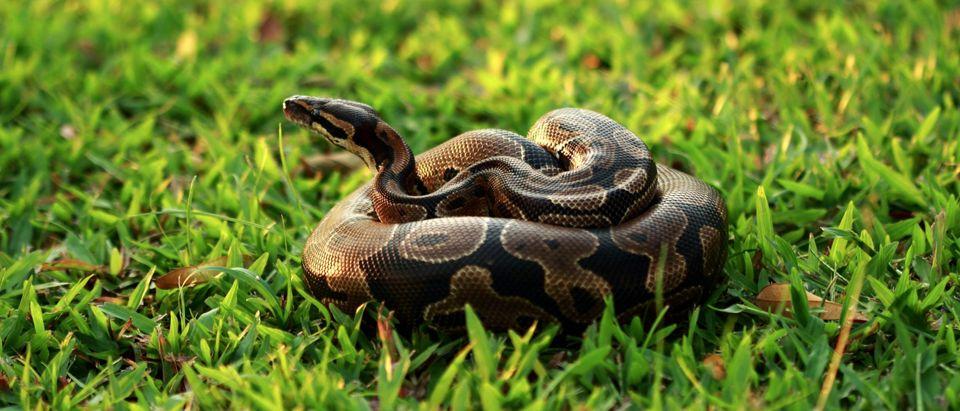 DC Fugitive Python - Featured