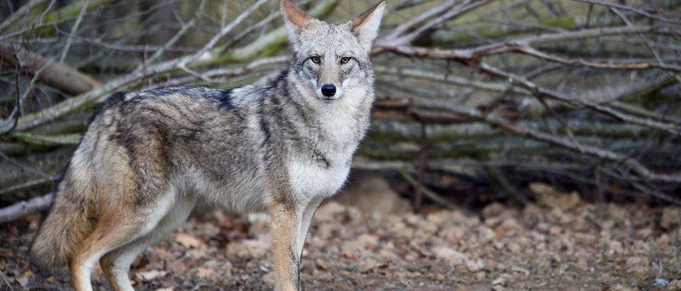FRANCE-ANIMAL-COYOTE-ENVIRONMENT