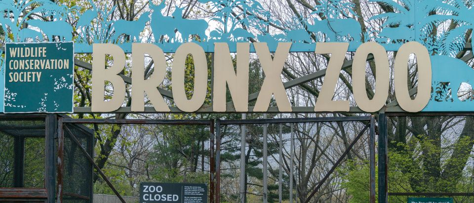 Bronx Zoo Reports 4 Tigers And 3 Lions Test Postive For Coronavirus