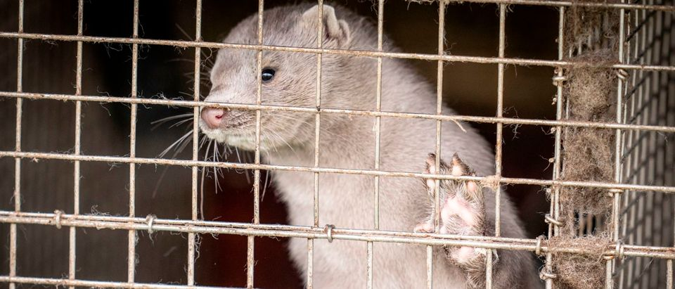 DENMARK-HEALTH-VIRUS-PANDEMIC-ANIMAL-AGRICULTURE-MINK