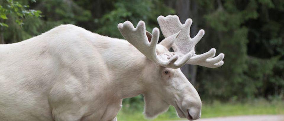 A rare white moose is seen in Gunnarskog, Varmland
