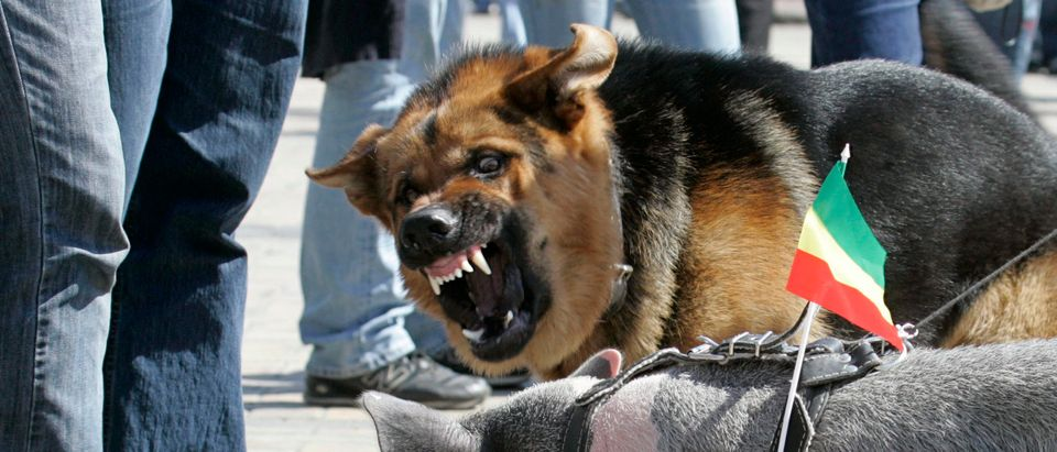 The dog bares its teeth at a pig during a pro-marijuana legalization march in central Kiev