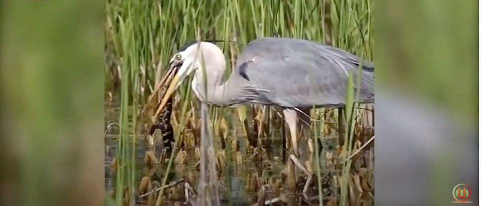 Blue_Heron_Eats_alligator