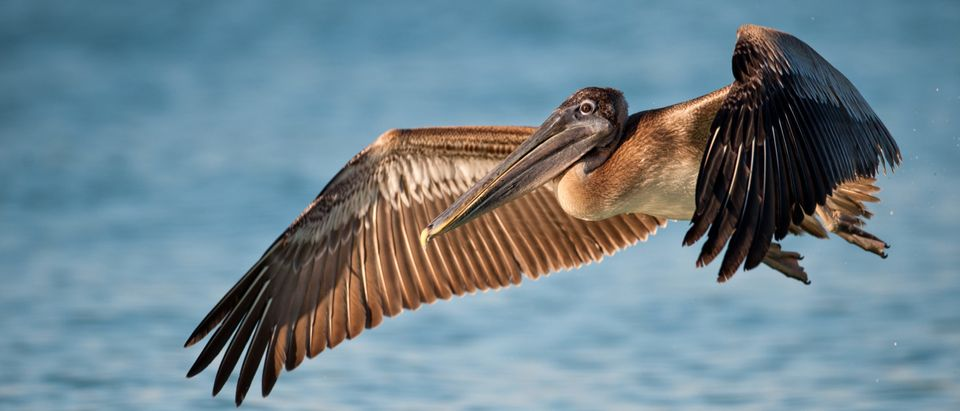 Brown pelican shutterstock