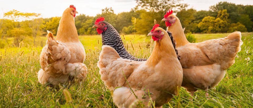 Chickens by Moonborne. Shutterstock.