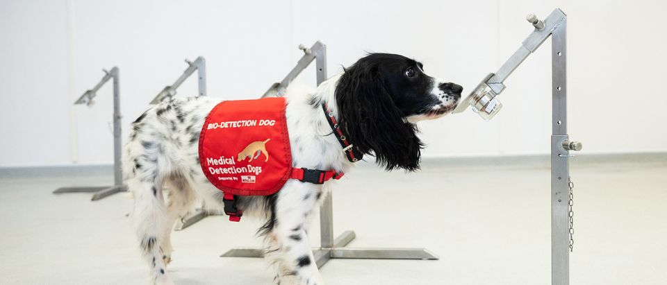 Medical Detection Dogs Are Being Re-trained To Help Identify Covid-19
