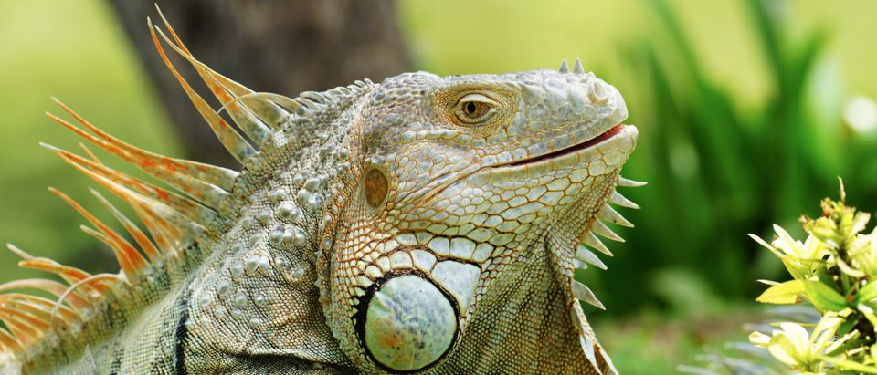 Not the same iguana from the story. By Sanit Fuangnakhon. Shutterstock.