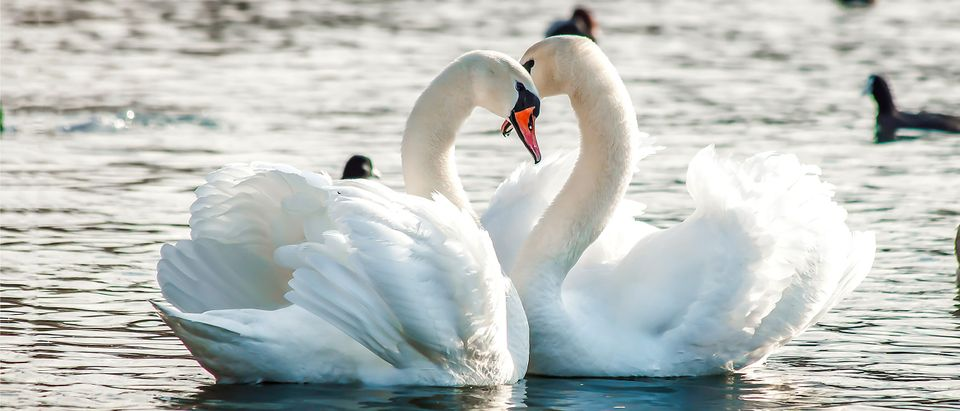 Not the same swans described in story. By Dmitry Demkin. Shutterstock.