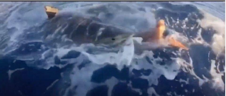 Sea_Turtle, Tiger Shark