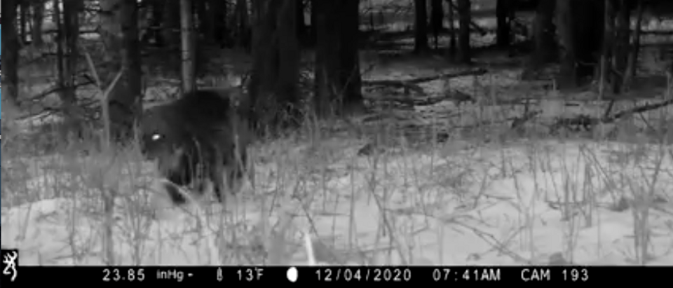 A wolverine was caught on Yellowstone's trail camera for the first time, the park said. Screenshot From Yellowstone National Park