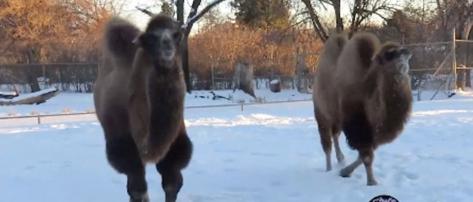 Camels_in_Snow