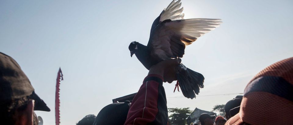 Competitors Gather For National Pigeon Racing Competition