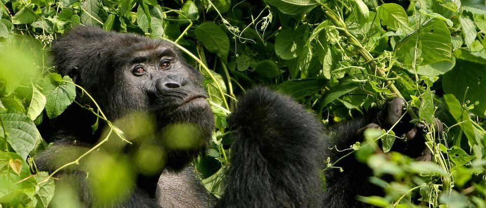 A Silverback male mountain Gorilla sits