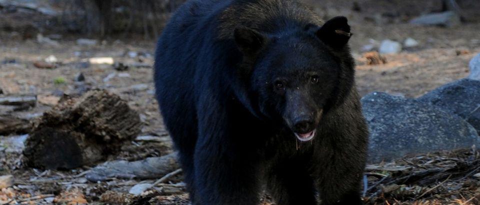 A black bear scavenges for food beside t