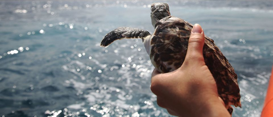Hundreds Of Sea Turtles Hatchlings Are Released Into Atlantic Ocean