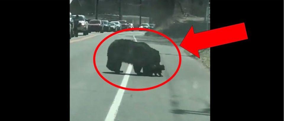Black Bear (Credit: Screenshot/Twitter Video https://twitter.com/EoinHiggins_/status/1376172493375954946)