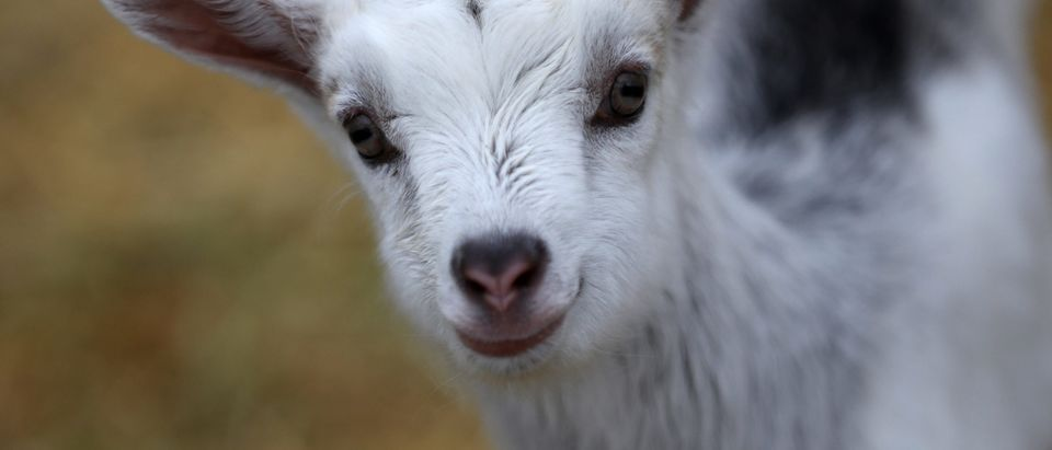 Dairy Goat Herds Surge Over The Last Decade In The U.S.