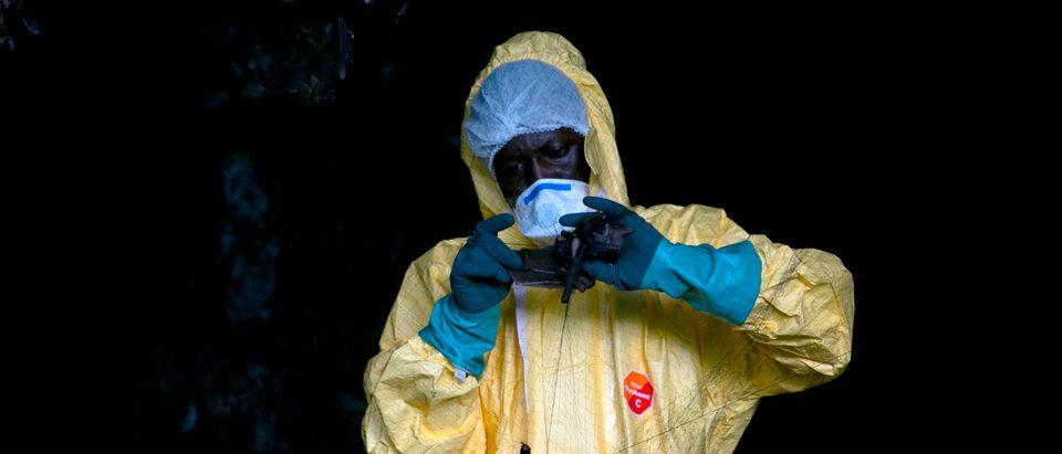 Researcher Captures Bats To Study Ebola