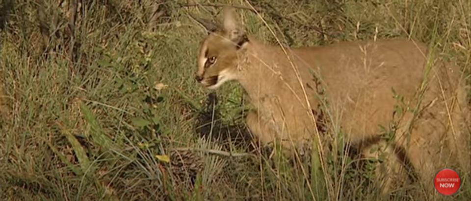 Desert Lynx Cat on Lion Mountain TV