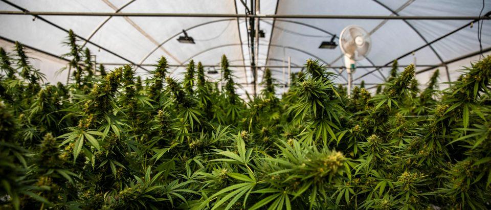 Thailand's Medical Marijuana Growing Facilities
