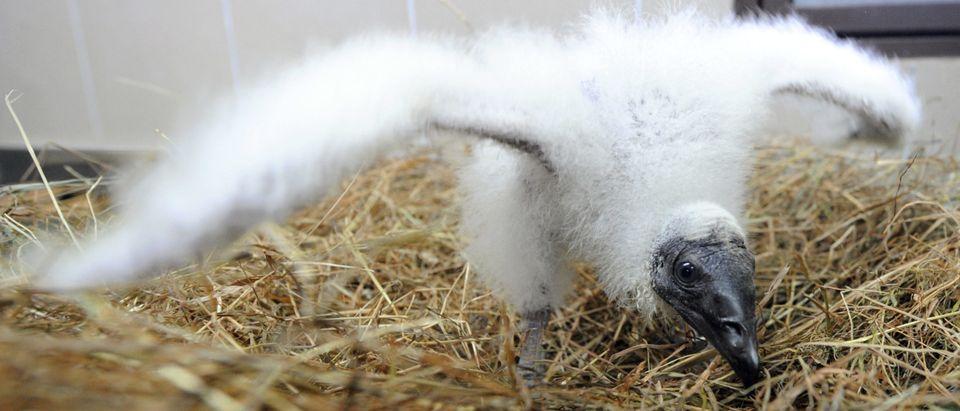 A new born Turkey Vulture bird (Catharte