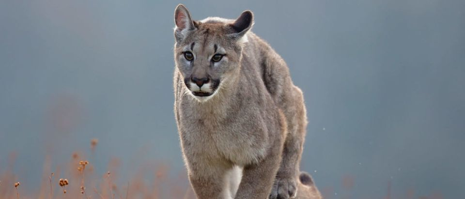 Cougar,(puma,Concolor),,Also,Commonly,Known,As,The,Mountain,Lion,