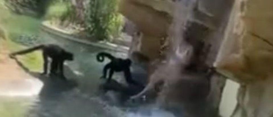 Spider Monkey Exhibit Video
