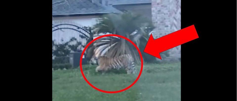Tiger (Credit: Screenshot/6ABC Video https://6abc.com/10607090/?ex_cid=TA_WPVI_TW&taid=60991c4d12982200014dc815&)