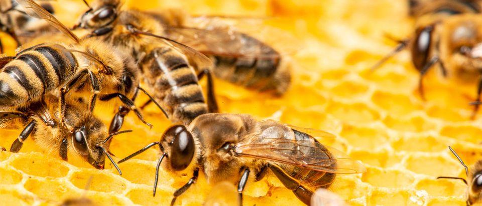 Honeybees [Shutterstock]