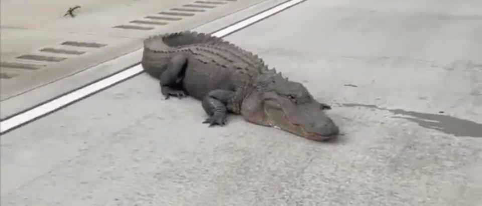 Alligator (Credit: Screenshot/Twitter Video https://twitter.com/GAFollowers/status/1401910071173517315)