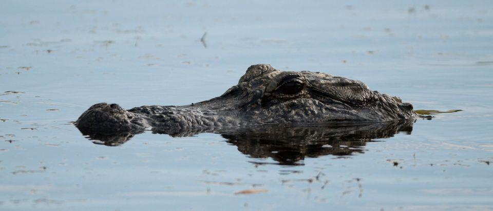 PGA Championship Alligator Sighting
