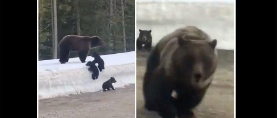 Bear Charge (Credit: Screenshot/Twitter Video https://twitter.com/barstoolsports/status/1406960496620802051)
