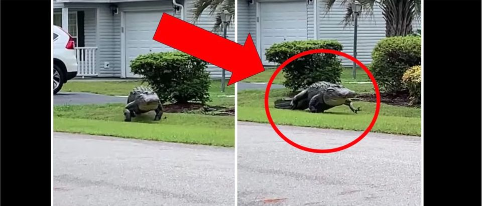 Gator Video (Credit: Screenshot/Facebook Video https://www.facebook.com/1420946838/videos/10220203300698981/)