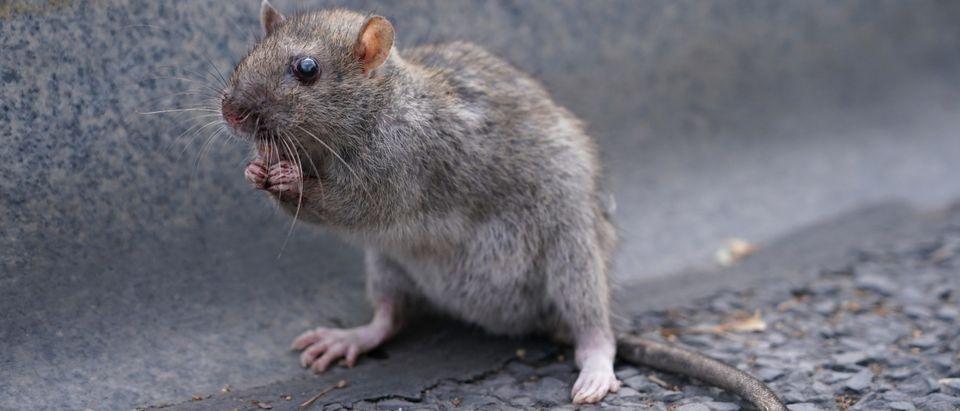Injured Rat
