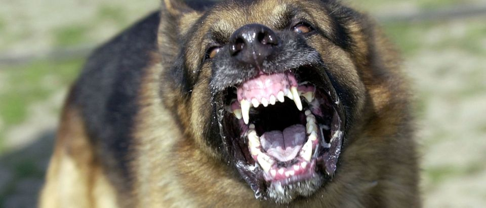 Snarling Dog Not Accused Of Mauling Suspected Owner In Texas