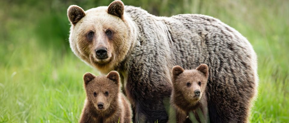 Female bear protects two young cubs [Shutterstock]