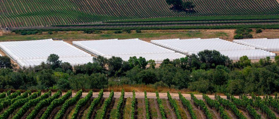 US-CANNABIS-CALIFORNIA-wine-ENVIRONMENT