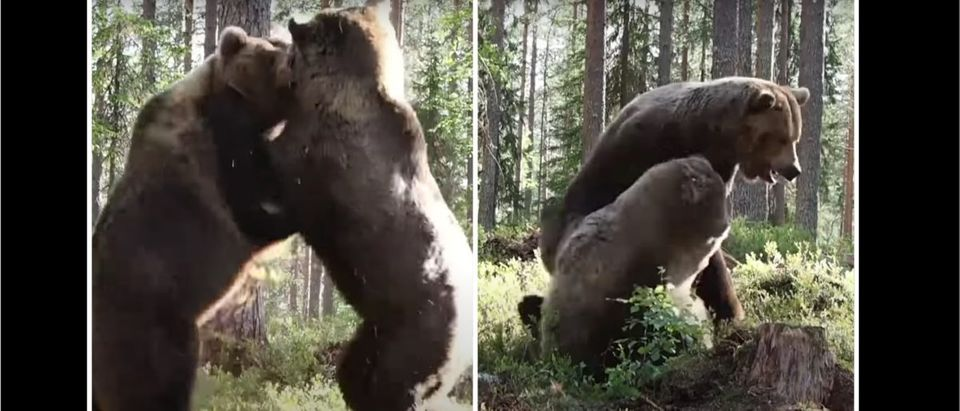 Bears Fight Video (Credit: Screenshot/YouTube https://www.youtube.com/watch?v=qJVFbr99H8o)