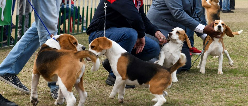 Fauci-Led Agency Funded Abusive Animal Experiments Promising To Kill Dozens Of Beagles