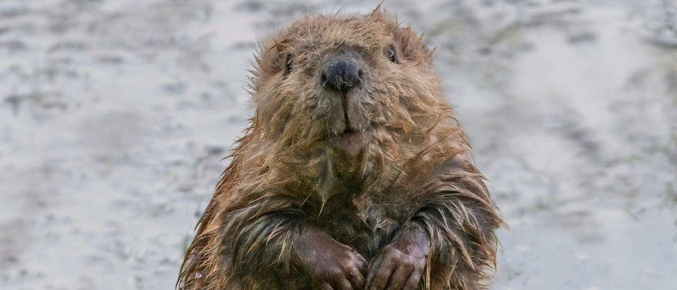 Beaver (Credit: Shutterstock/Richard Seeley)