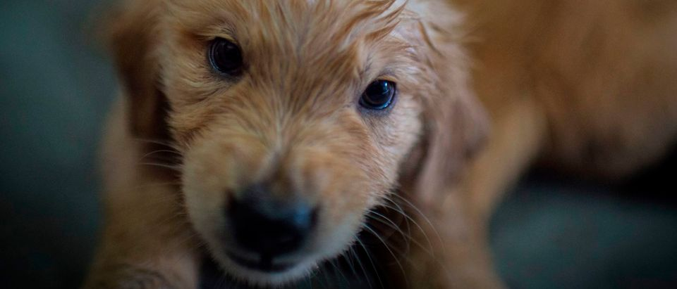 A 50-day-old Golden Retriever puppy plays is seen before a training session at the Chilean police canine training school in Santiago, on October 09, 2018. - Two hundred dogs of different breeds, such as German Shepherd, Belgian Shepherd, Labrador, Golden Retriever and Swiss Shepherd, are trained at the training school located in the San Cristobal hill, a green lung in downtown Santiago. (Photo by Martin BERNETTI / AFP) / TO GO WITH AFP STORY BY MIGUEL SANCHEZ (Photo credit should read MARTIN BERNETTI/AFP via Getty Images)